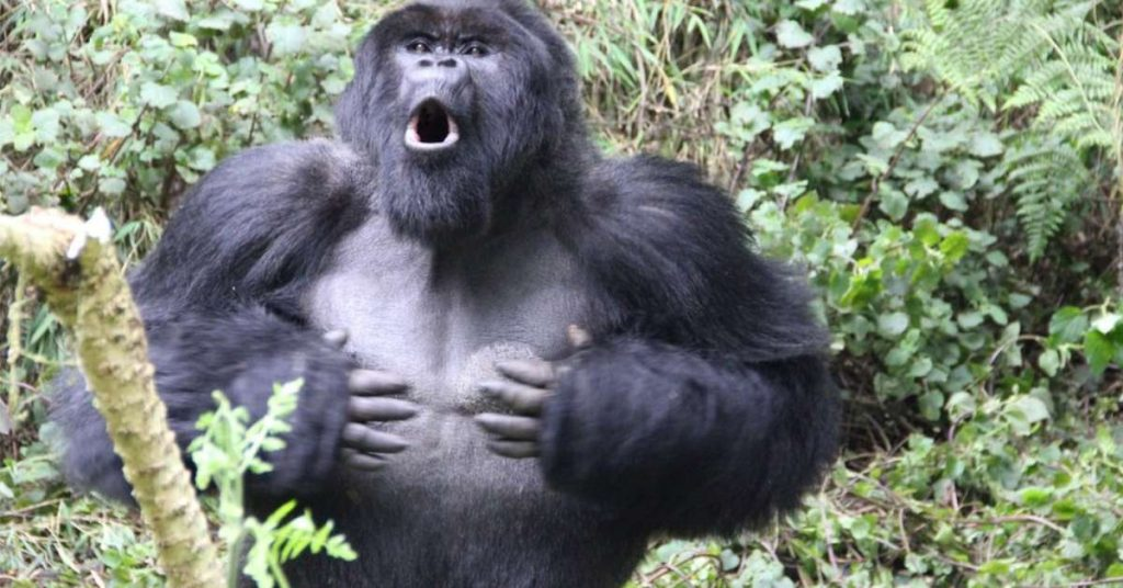 The real reason gorillas hit their chests, according to science