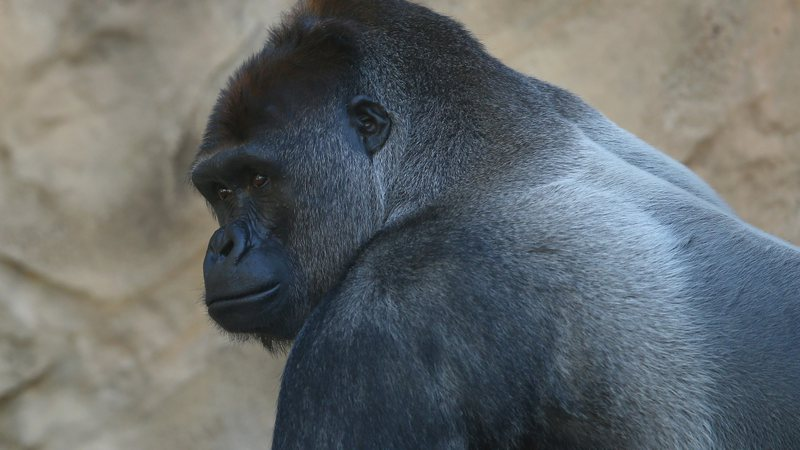 Gorila em zoológico
