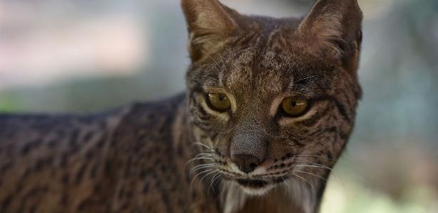 Spain optimistic about the survival of the Iberian Lynx - 05/28/2021