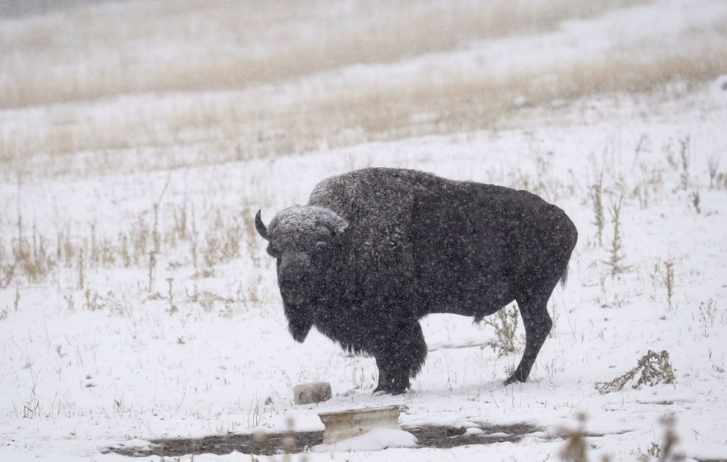 In two days, 45,000 have signed up to kill a bison in the US    nature