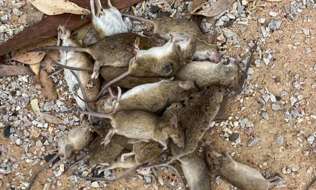 Mice destroy crops, cause fires and wreak havoc on millionaire;  Watch videos