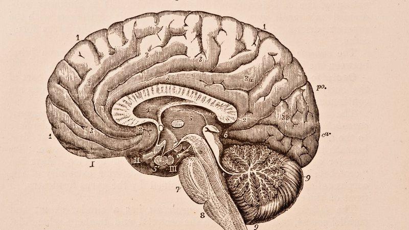 Imagem meramente ilustrativa de um cérebro