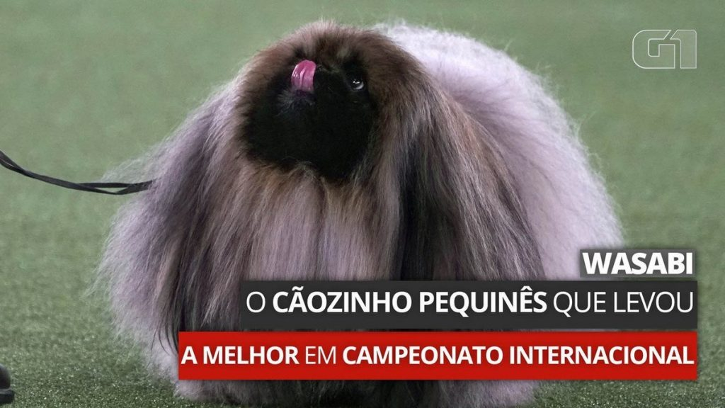 Wasabi, the little Pekingese dog who won the international championship |  Scientist