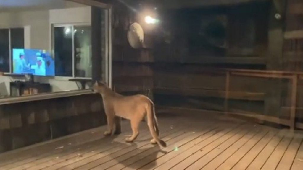Puma intimidates a resident after visiting his home in the United States;  See    Extraordinary world