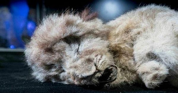 Cave lion cub found frozen 28,000 years old