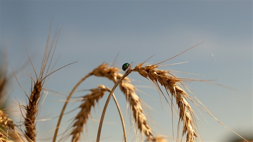 The UK approved the revised wheat field test