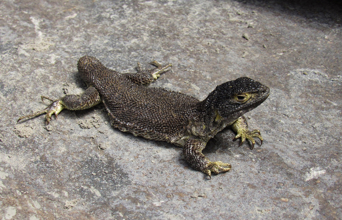 Scientists discover new species of lizards in southern Peru