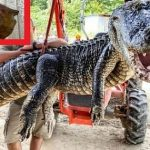USA: The 5 meter crocodile had two historical objects in its stomach