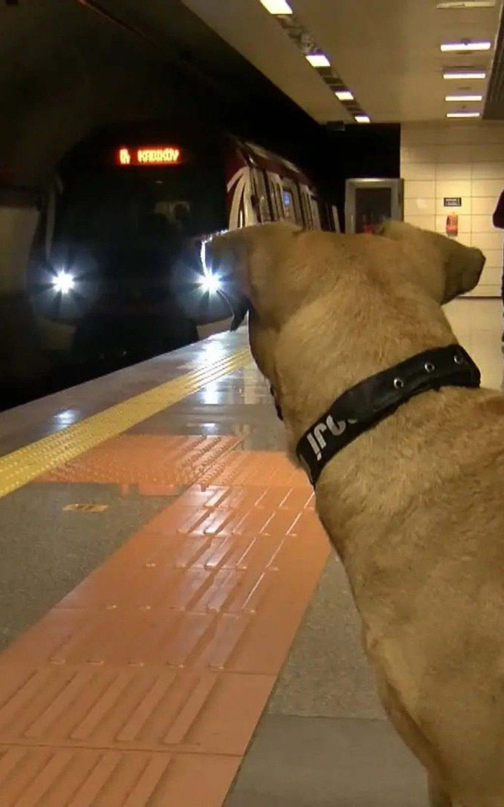 A dog draws attention for using public transportation daily in Istanbul |  world and science